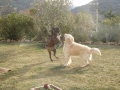 Brianie débordant de vitalité avec Nathéo de Dog Riviera