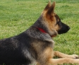 Stella, 6 mois, splendide berger allemand, très douce
