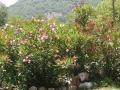 Nougat : je suis toujours caché ! j'en profite:  les lauriers roses à St-Etienne sont rares !