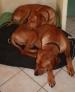 CANDO ET VIGO (Ridgeback) :  2 adhésifs  double face  pour dormir !