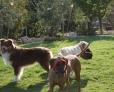BISHARA : au bal masqué ... oh hé , ho hé !! avec Sugar, la labrador