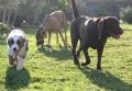 CACAO (labrador 2 ans) : suis affectueux, calme ; et mon copain Douglas (berger australien)