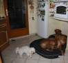 Cando et Vigo (ridgeback) : ké tu veux petit ?? une petite place au chaud entre nous !