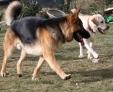 Kazan et Chuck (labrador) : le clan