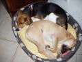 RUBIS bébé, couchée près de Chaya (une beagle)