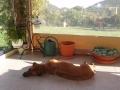 RANA : une Rhodésian Ridgeback super relax ! bronzette au soleil !