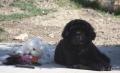 BALOO (terre neuve , 5 mois) avec son petit frère COTON (coton de tuléar, 6 mois) les