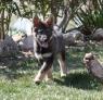 DZILAYE : Bébé loup de 3 mois , trop mimi !