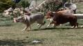 CASHKA ET CHYNEMOON : course poursuite dans l'avenue dog liberty !