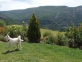 ENZA : jeune berger blanc suisse