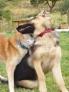 Stella (berger allemand) : ne me quitte pas Wolf....