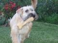 Biscotte (terrier irlandais) : mes 1ères vacances !
