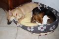 Rubis : moi faut que je dorme contre Chaya (beagle) !