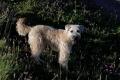 Biscotte (terrier irlandais) : pose pour un livre !