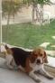 VINI.( un beagle), en thalasso chez sa mono. !
