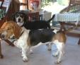 CLOVIS (basset normand) et TAO (beagle) les 2 complices !!
