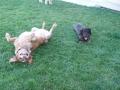 Orca et Roulio (teckel) : la pelouse est tip top !!