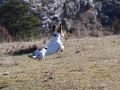 ALFIE , un jack russel au top pour 1 safari !!