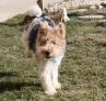ASRAEL, (fox terrier) : les pirouettes c'est mon truc !
