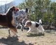 ASRAEL (fox terrier) :  n'est pas peur Cléo, je suis tout petit !